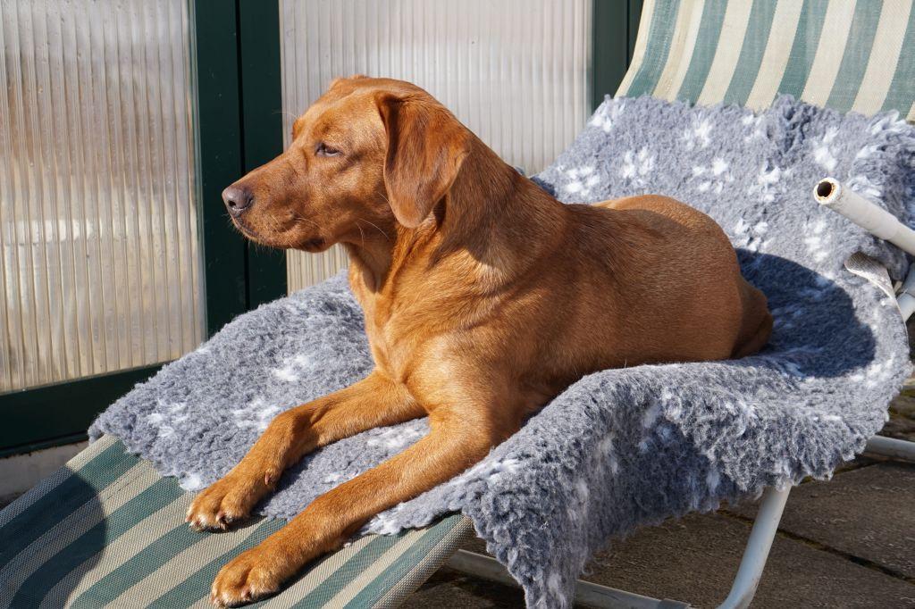 Labrador laufigkeit
